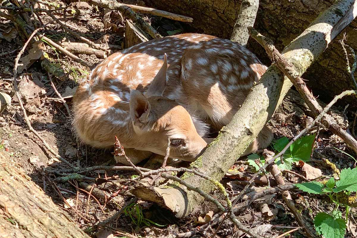 wildpark_schmidt-damwild6