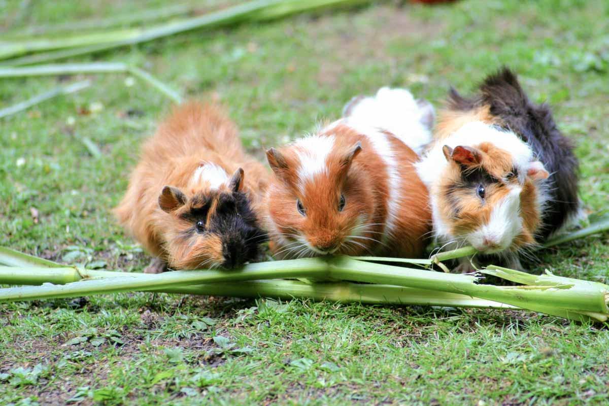 wildpark_schmidt-meerschweinchen1