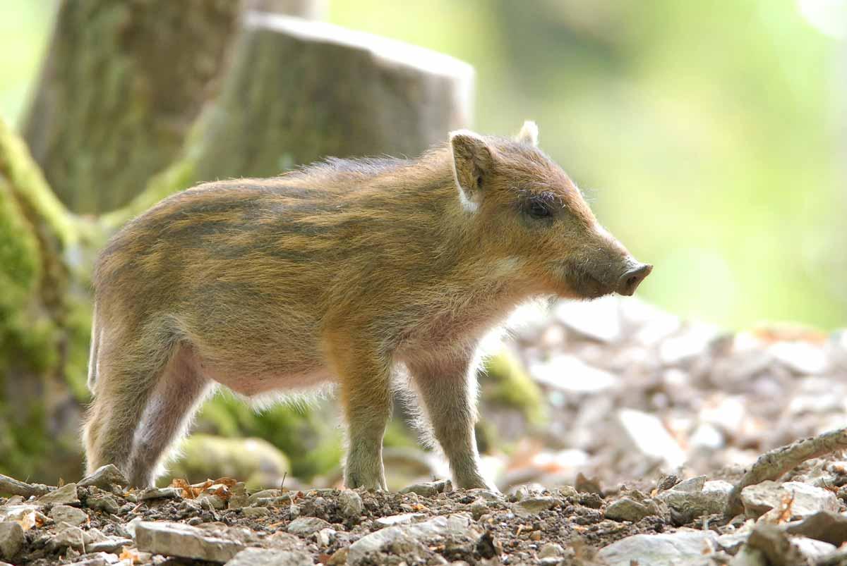 wildpark_schmidt-wildschweine2
