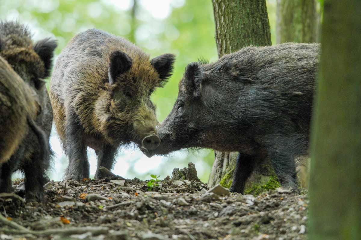 wildpark_schmidt-wildschweine4